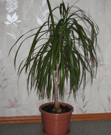 Комнатный цветок похожий на пальму