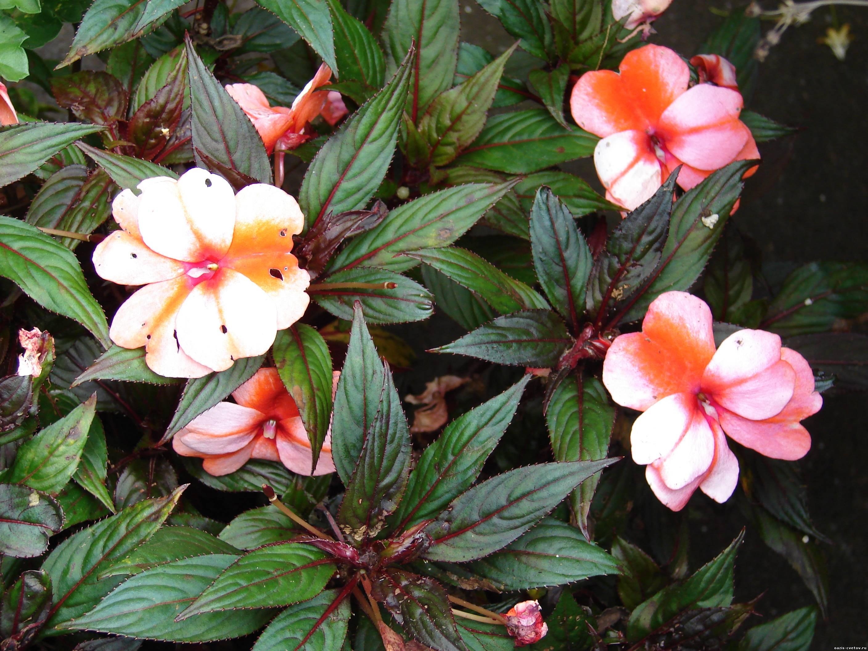 Бальзамин новогвинейский уход, фото Любимые цветы 4