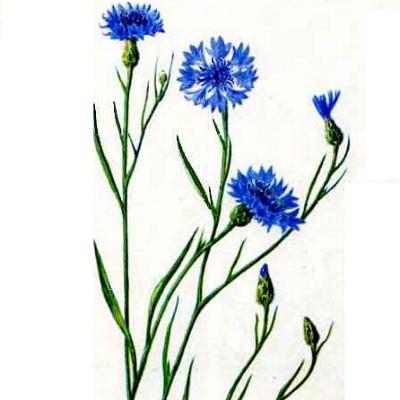 Василёк цветок рисунок