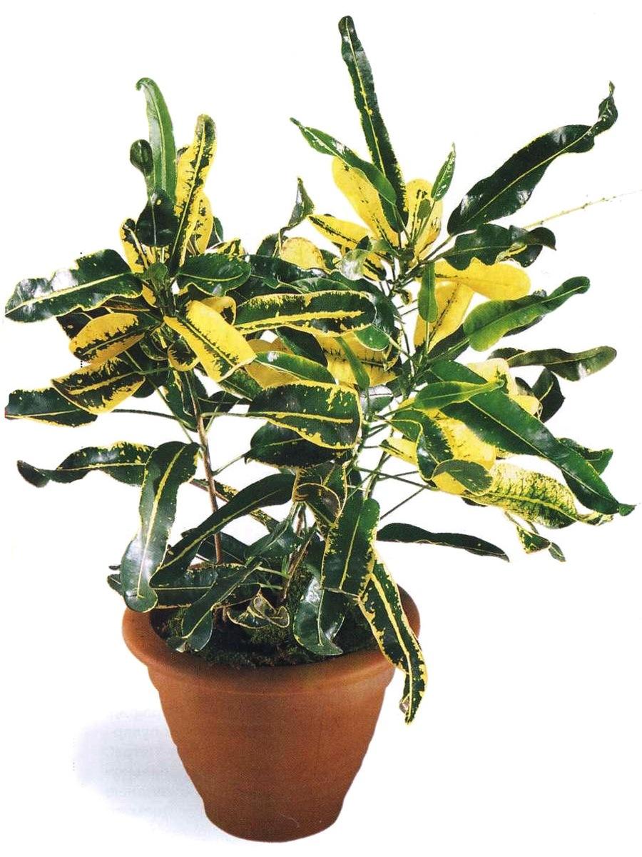 Как выглядит цветок кротон фото