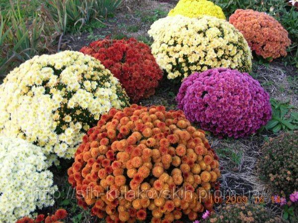 цветы садовые многолетние фото и название