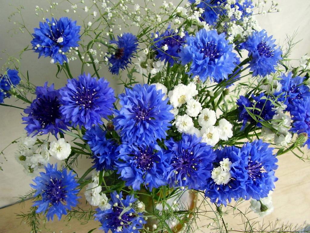полевые цветы синего цвета