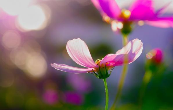 Цветы картинки космея » DreemPics.com ...: dreempics.com/flowers/3164-tsvete_kartinki_kosmeya.html