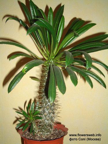 Алфавитный каталог комнатных растений и цветов 98
