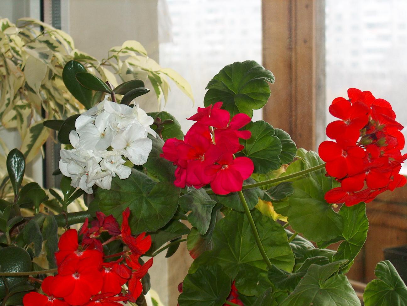 комнатные цветы  по алфавиту
