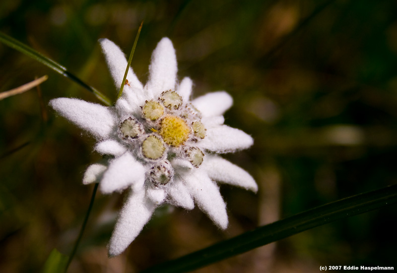 как выглядит цветок эдельвейс