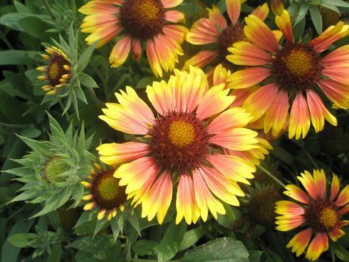 Луковичные садовые цветы название фото