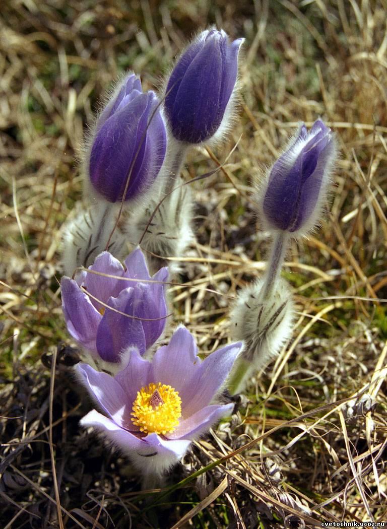 Сон-трава цветок