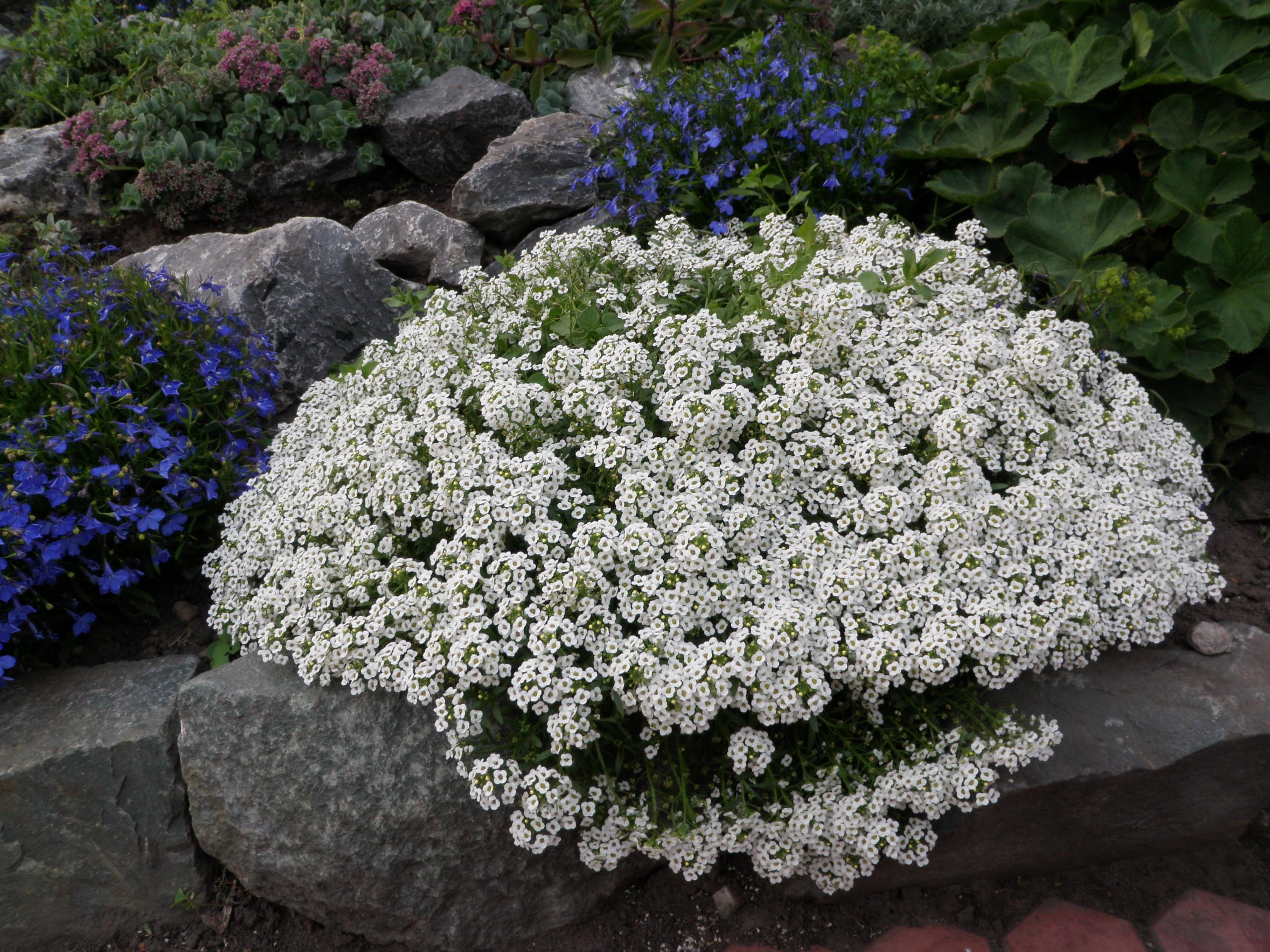 Names Of Flowers A = Pansy B = Nasturtium C = Alyssum D