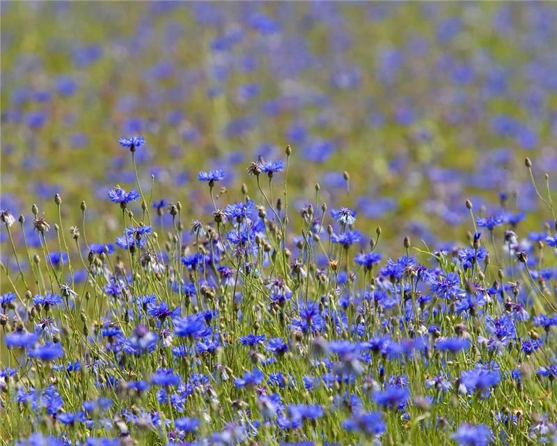 Виды многолетних луговых цветов и трав - Энциклопедия
