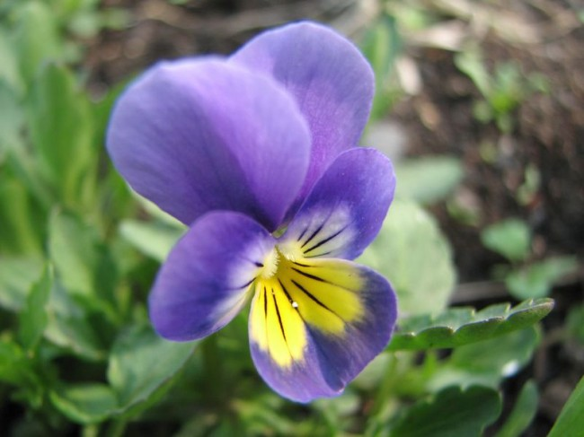 цветок весенний