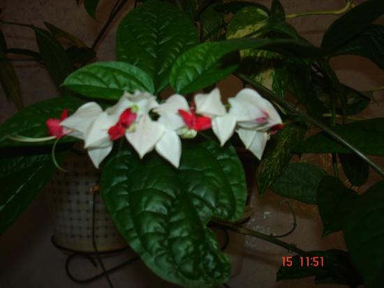 комнатные цветы цветущие луковичные фото и названия