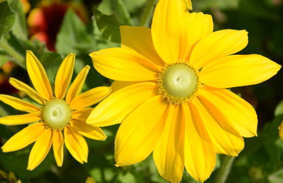 Девичьи слезы цветок