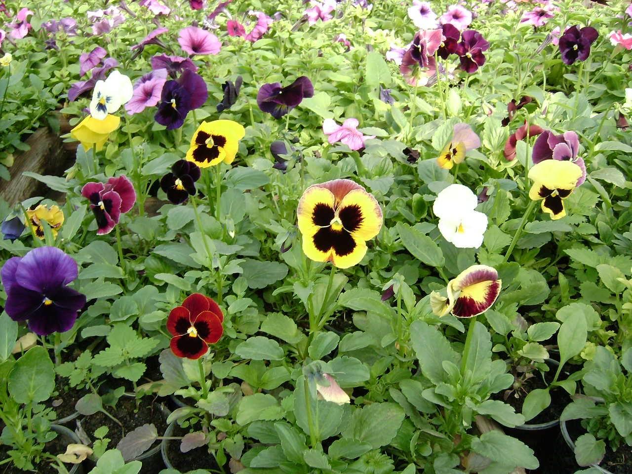 Цветы анютины глазки посадка и уход многолетники