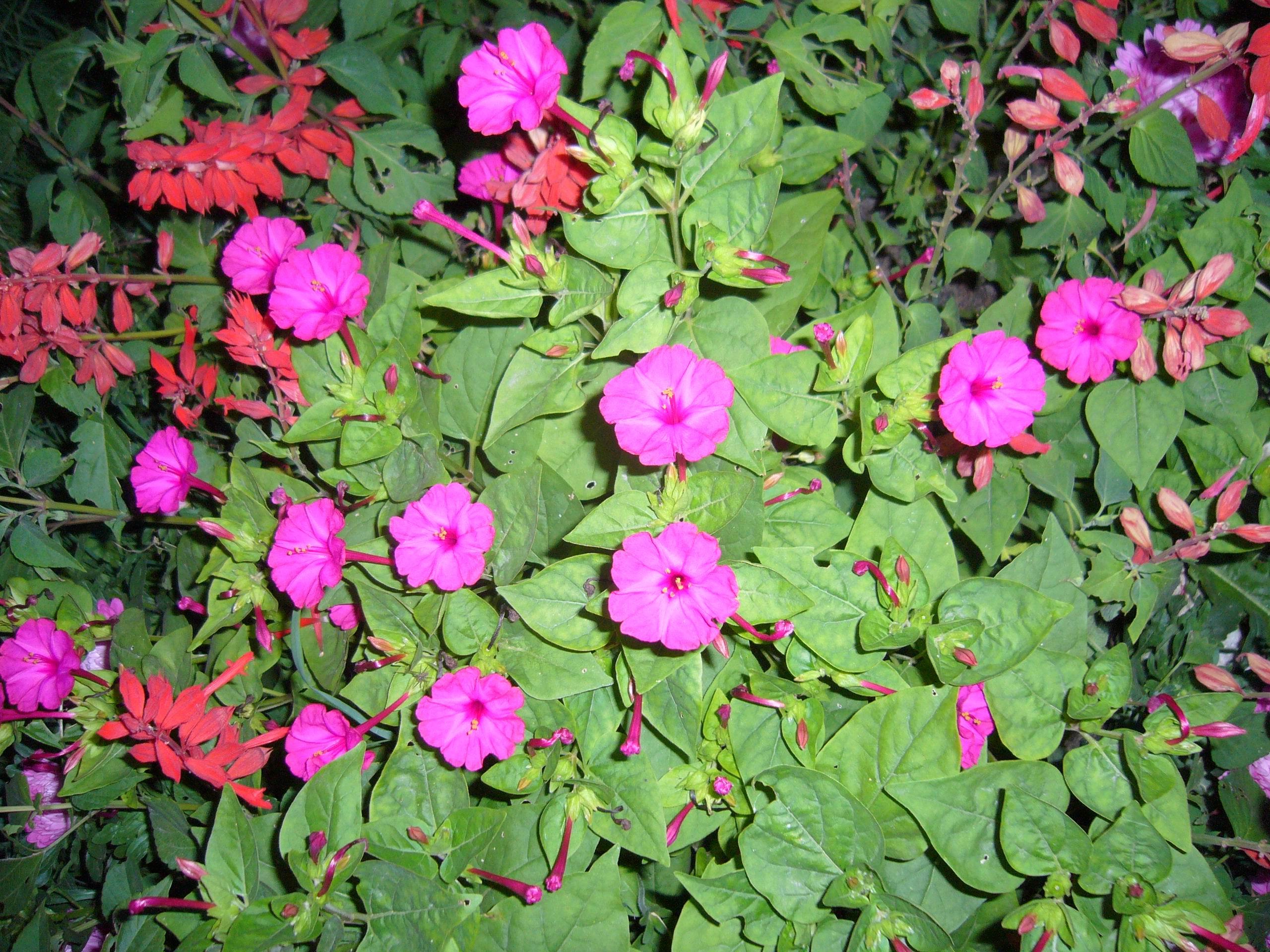 Цветы ночная красавица желтая 145