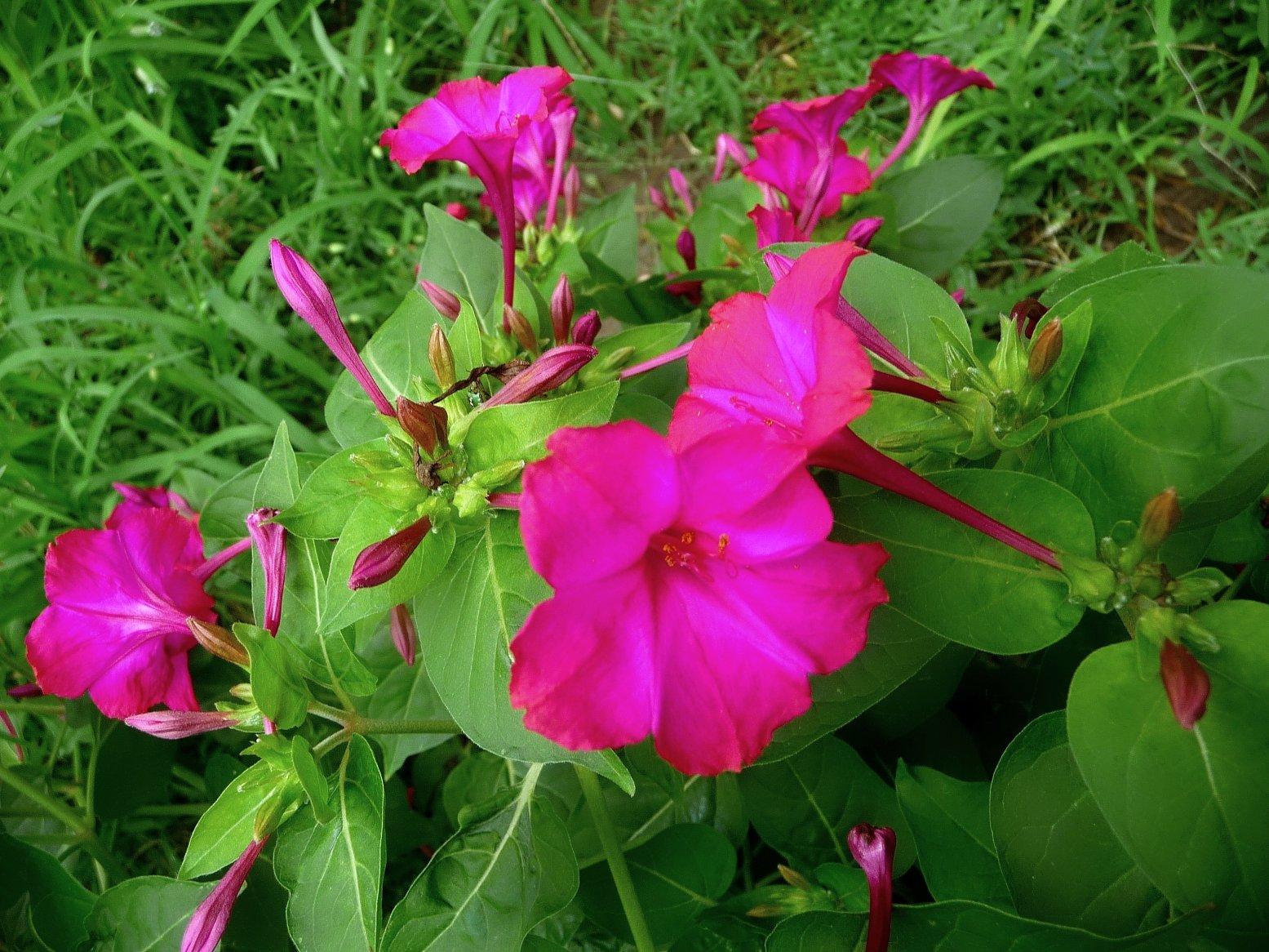 Цветок ночная красавица (мирабилис посадка и уход, фото) 100