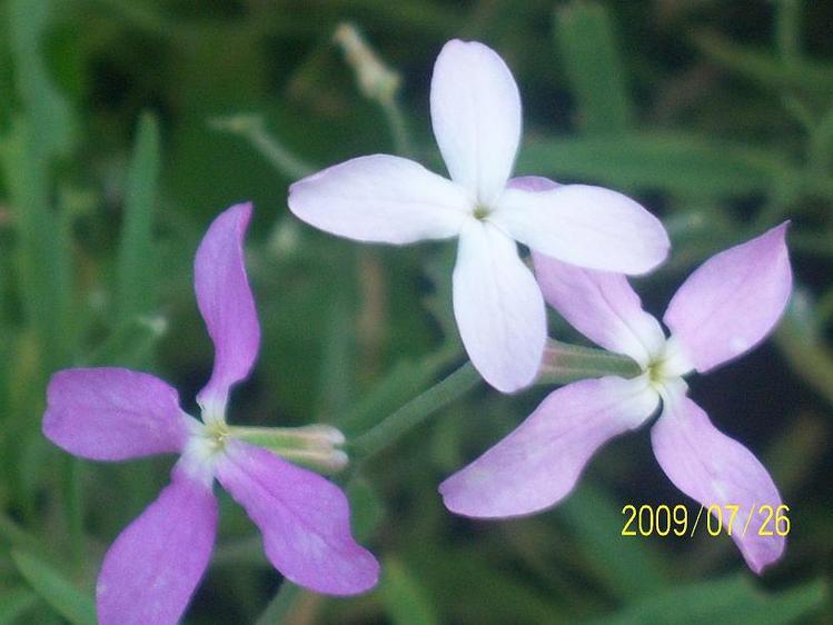 Как выглядит цветок ночная фиалка