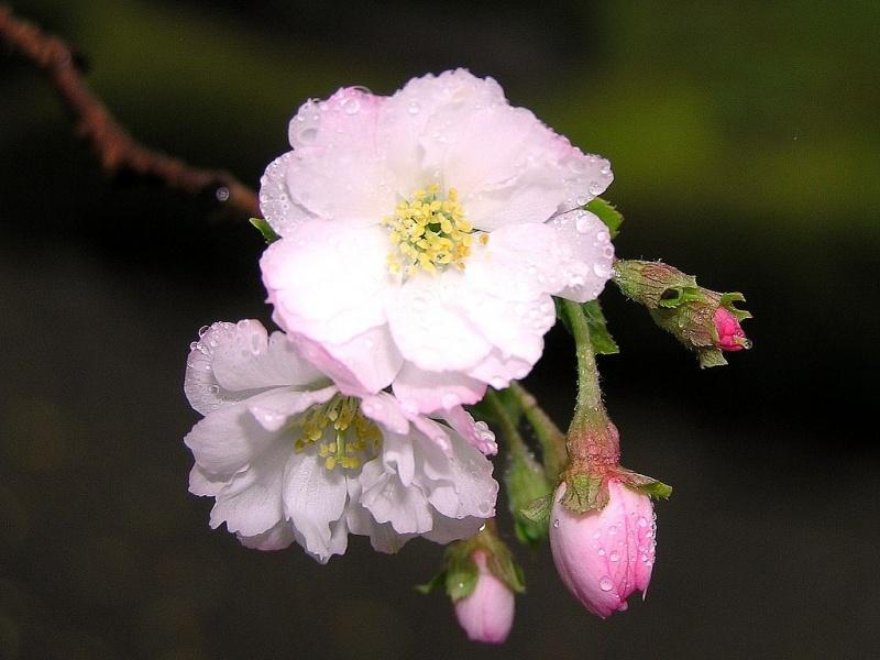 Фото цвет сакуры