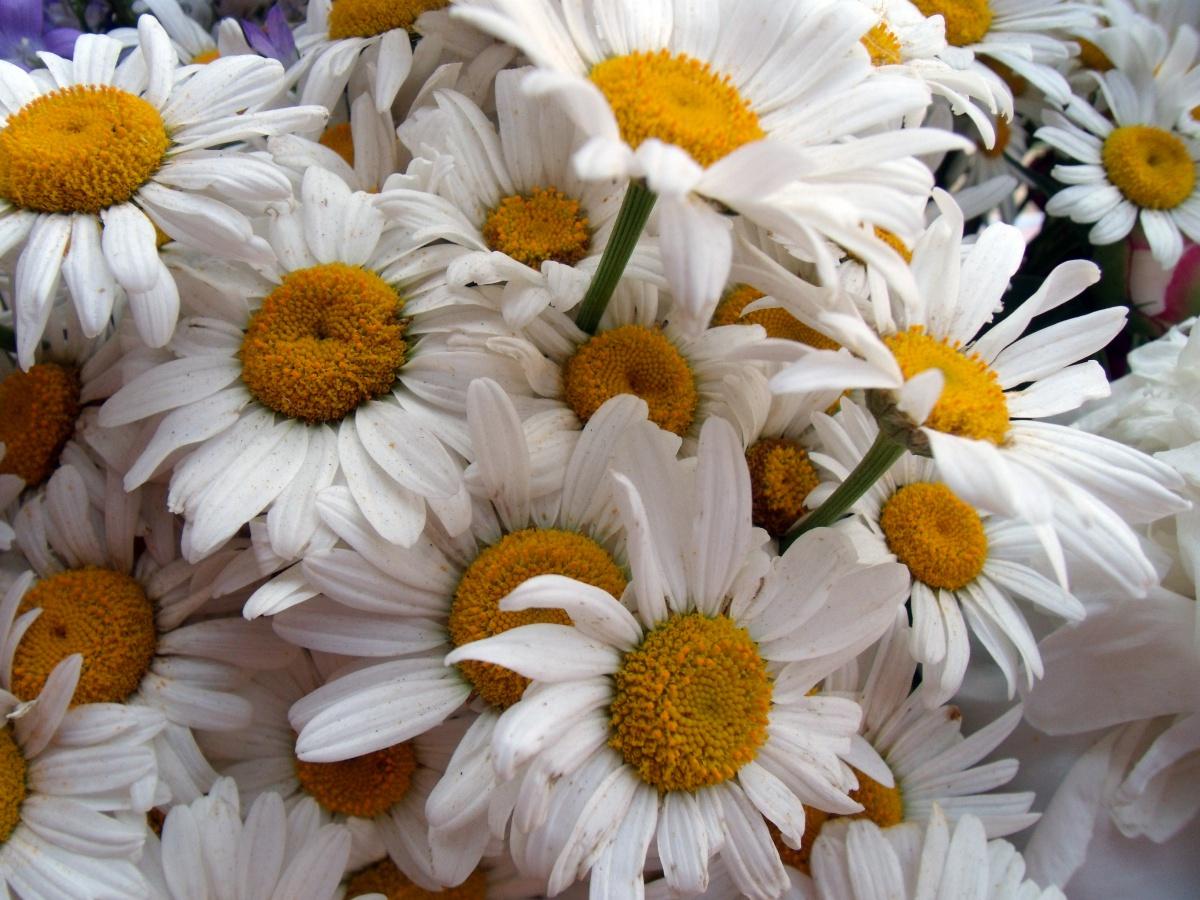 Фото букет ромашек цветы