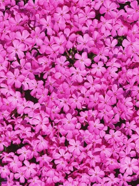 Цветы розы картинки скачать бесплатно на телефон