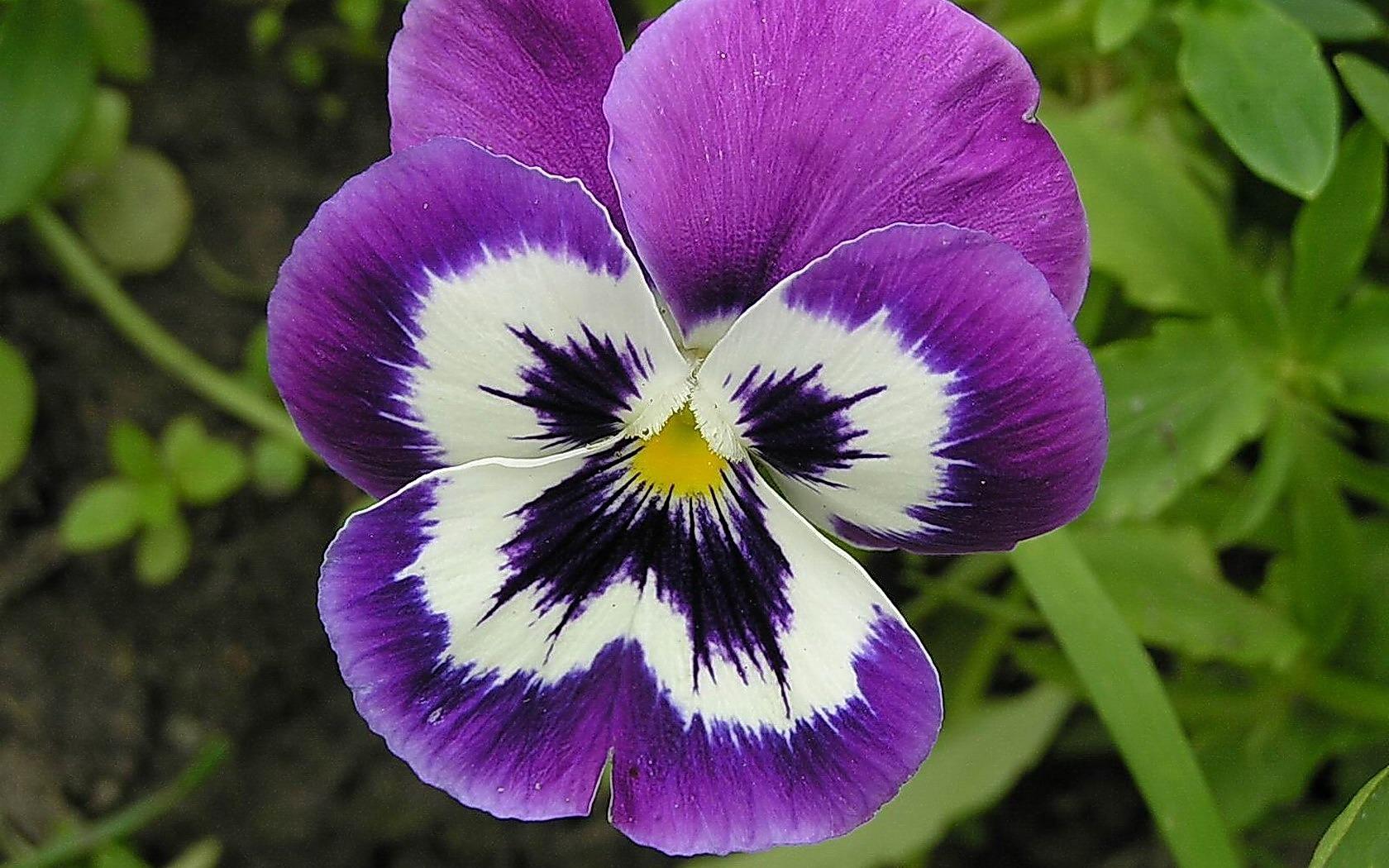 Анютины-глазки цветок