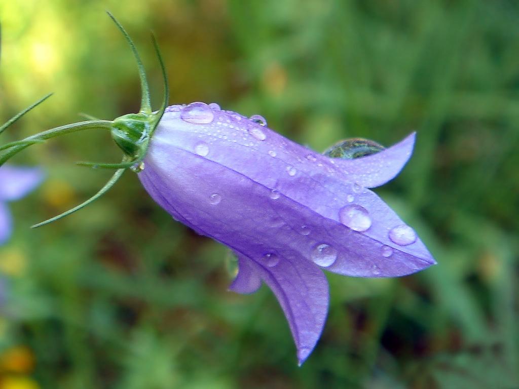 Комнатные цветы жакаранда 73