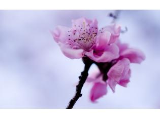 Фото сакуры в цвету на рабочий стол