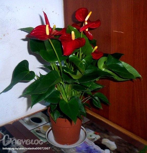 Комнатное цветок женское счастие с