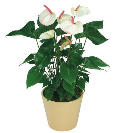 Денежное дерево цветок фото