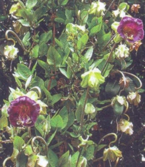 О цветах и растениях Вьющиеся растения для забора