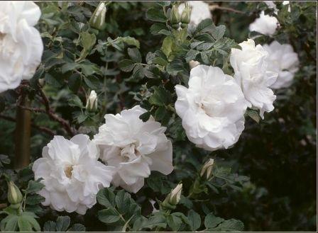 Белые цветы названия