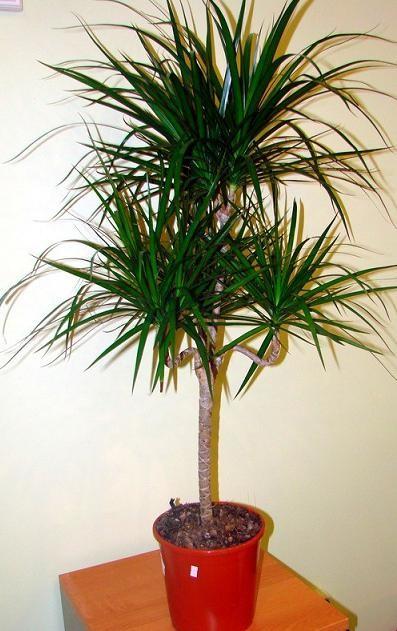 Найти цветок пальма