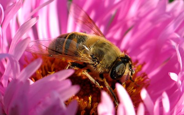 Пчелка скачать картинку 8