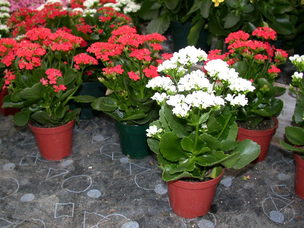 Цветущие комнатные растения фото и названия Комнатные 54