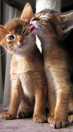 Кот лижет за ухом Так