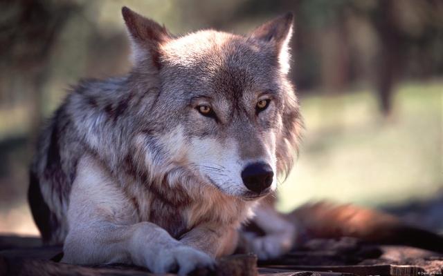 hd обои на рабочий стол волк № 1696607 загрузить