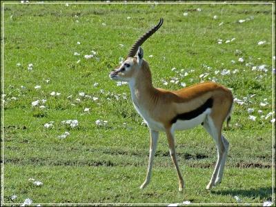 газель животное