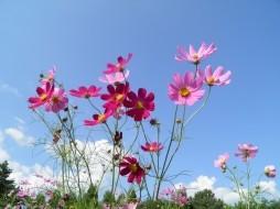 Картинки цветов <i>рисунки цветка космея</i> космея