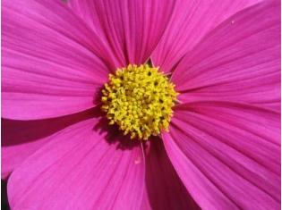 Картинки цветов космея