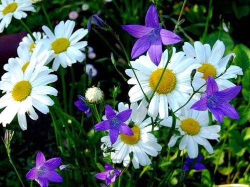 Цветы полевые и картинки