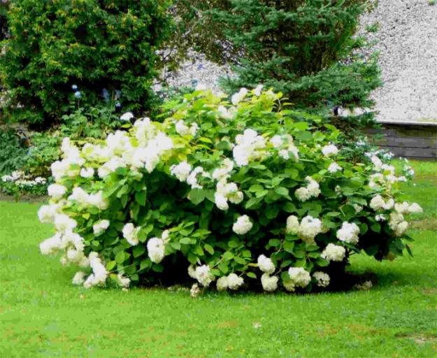 Неприхотливые многолетние цветы и растения для сада 83