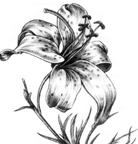 Картинки цветок карандашом