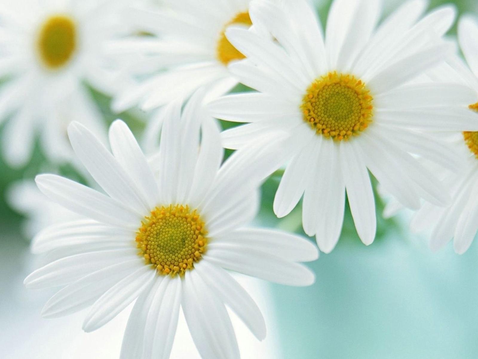 Полевые цветы картинки и названия