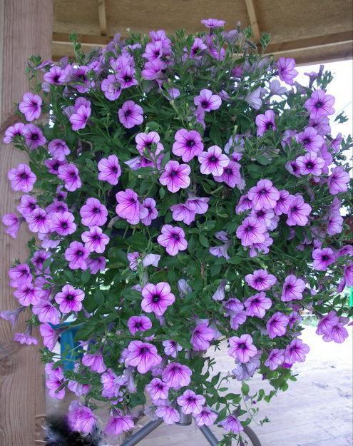 Вьющиеся цветы для сада многолетние фото