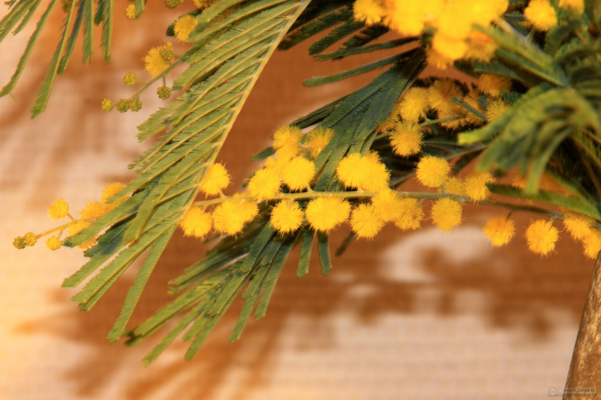 Цветы мимоза и фото