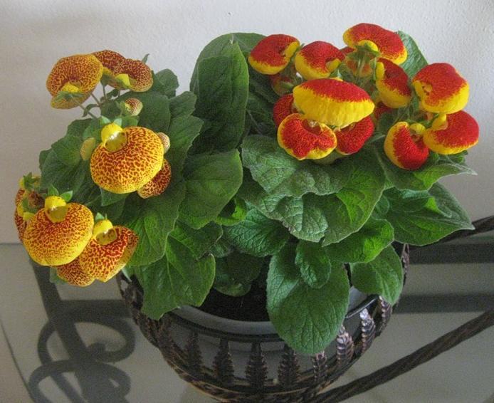 Фото домашних цветов орхидеи