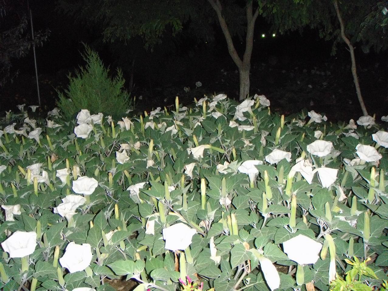 Ночные цветы и название 82