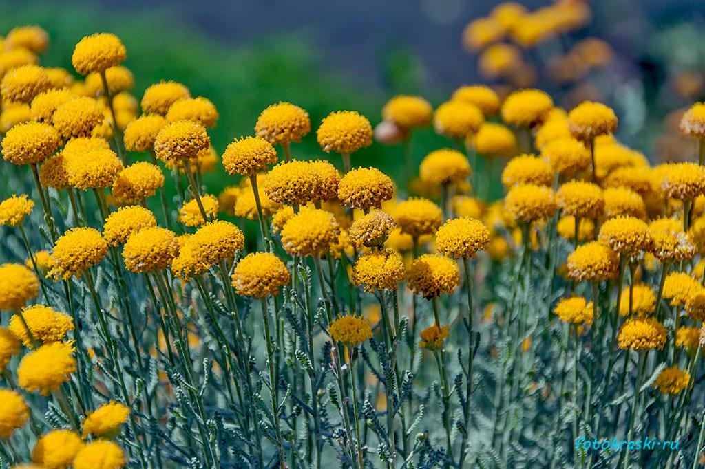 Желтые летние цветы