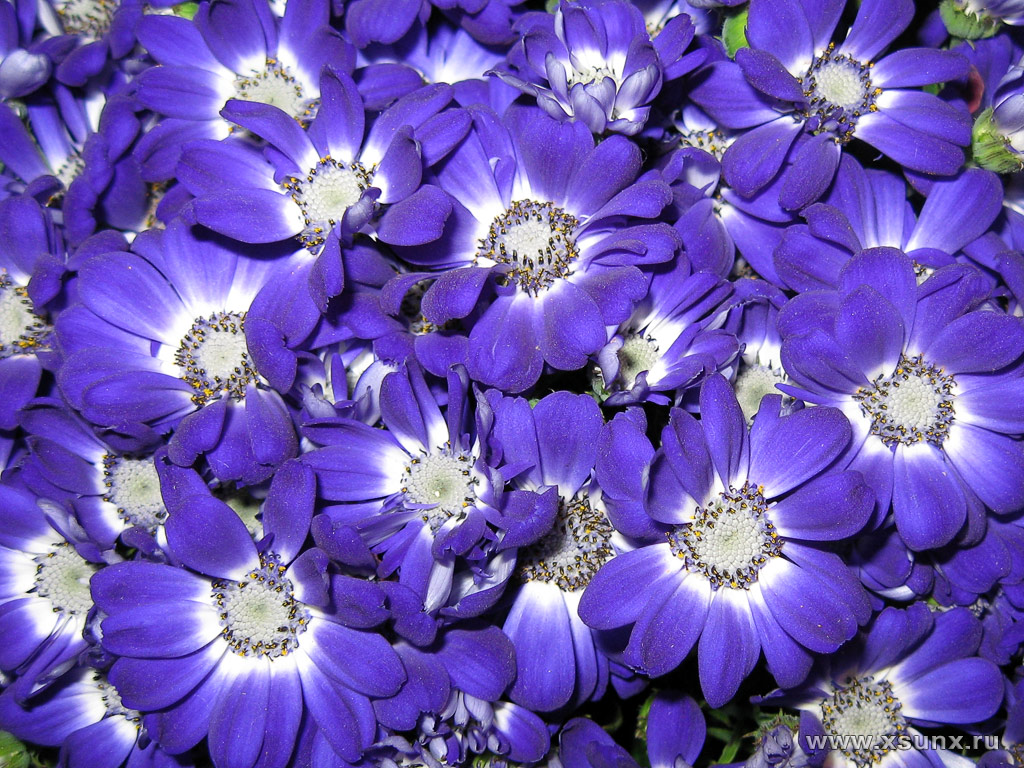 Картинки синие розы скачать - 0c1