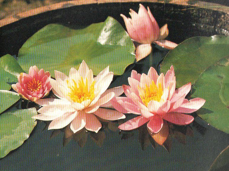 Болотные цветы